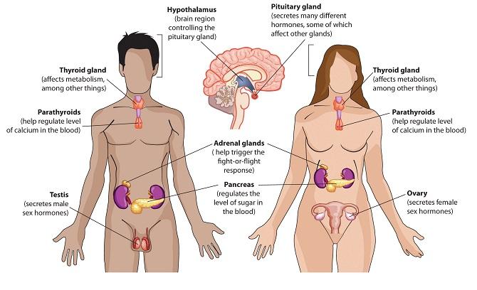 Hormone góp phần sản xuất mồ hôi dưới cánh tay